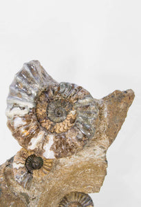 A beautiful British Aegasteroceras sagittarium fossil ammonite for sale in the original bedrock available at THE FOSSIL STORE