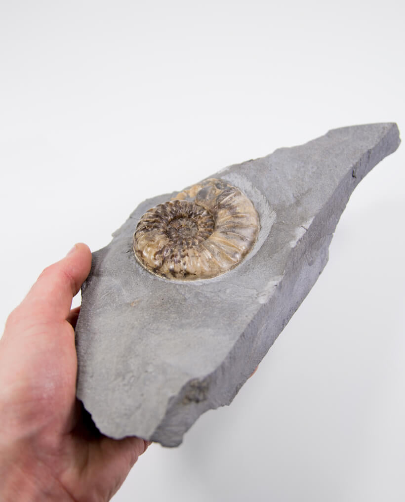 Asteroceras Ammonite 81mm