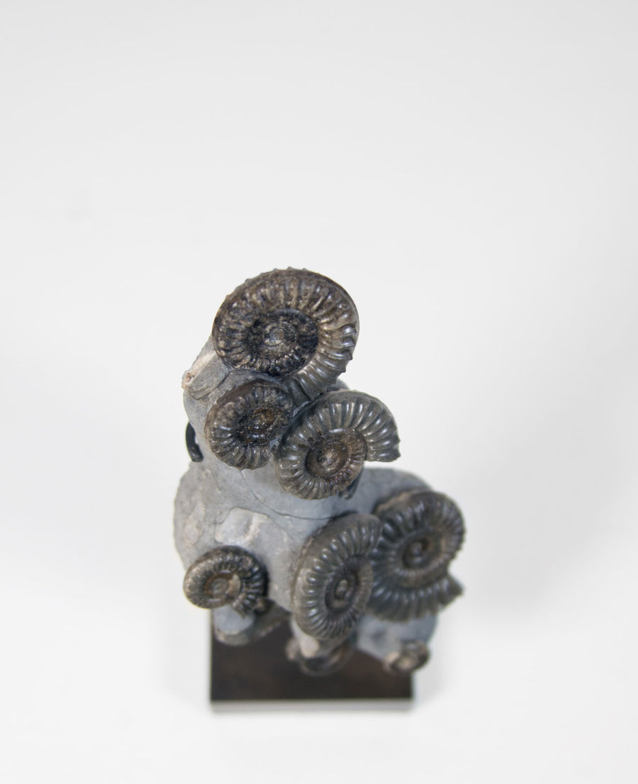 British Fossil Commune On Bronze 180mm