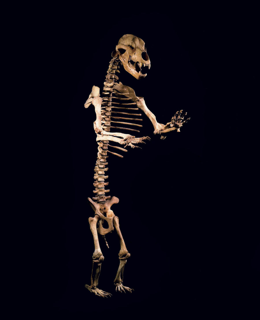 A six to seven foot tall cave bear skeleton for sale presented on THE FOSSIL STORE custom black stand for interior spaces out there