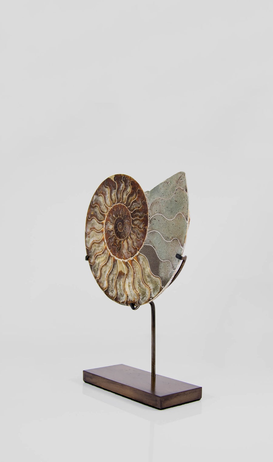 Cleoniceras Ammonite on Bronze 240mm