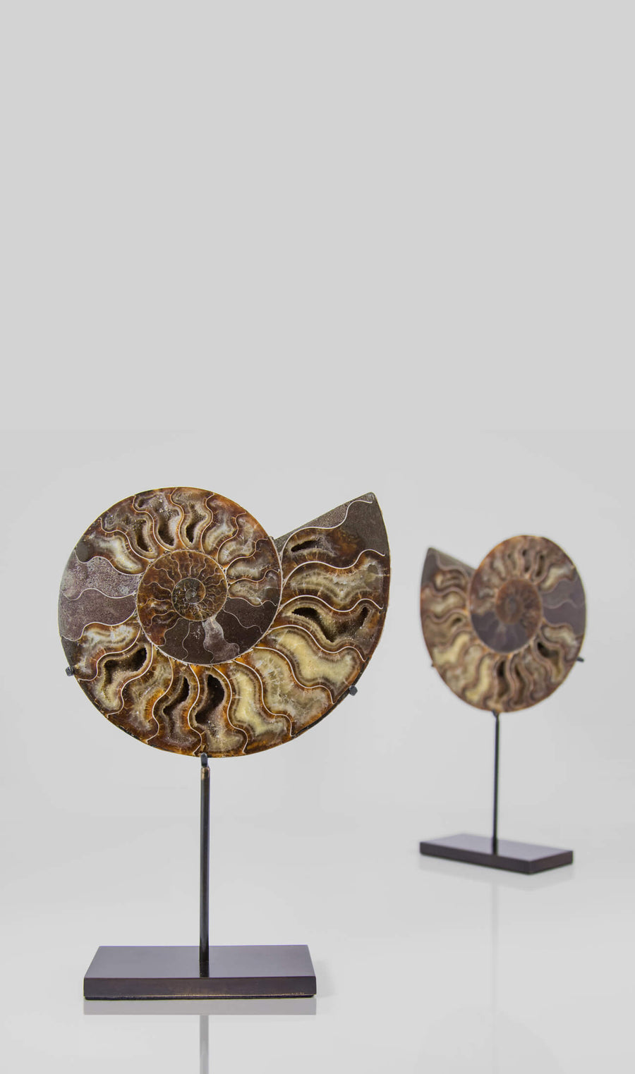 Cleoniceras Ammonite Pairs on Bronze Stands Measuring 237mm