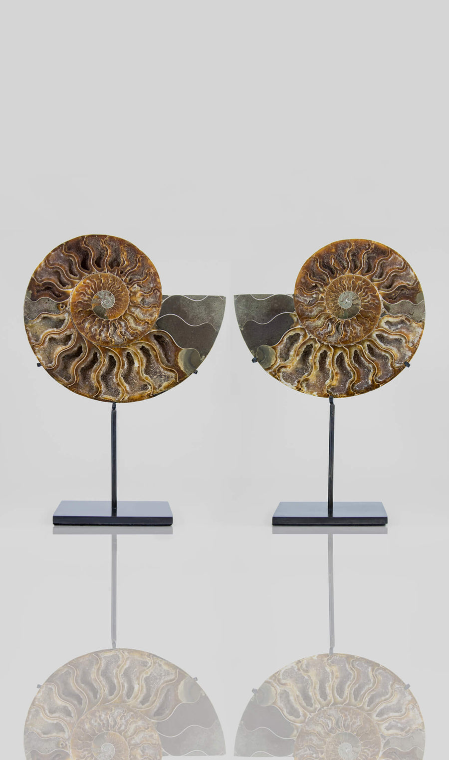 Cleoniceras Ammonite Pairs on Bronze Stands Measuring 262mm