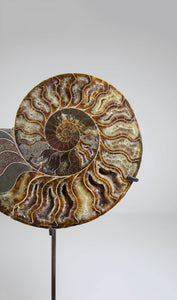 Cleoniceras Ammonite Pairs on Bronze Stands Measuring 238mm