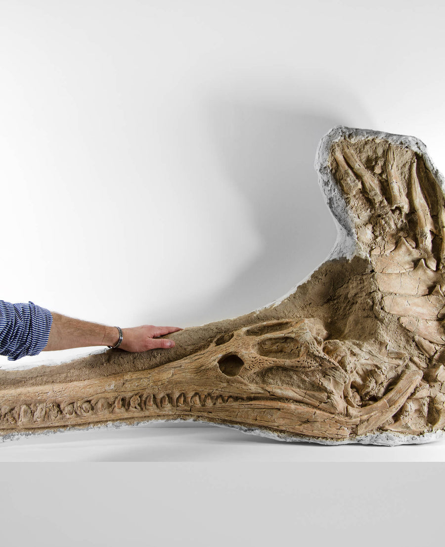 Highly important museum-quality Dyrosaurus Crocodile fossil Skull for sale measuring 1.31 meters