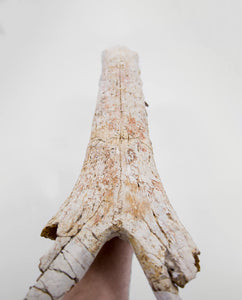 Sarcosuchus Crocodile Jaw 680mm