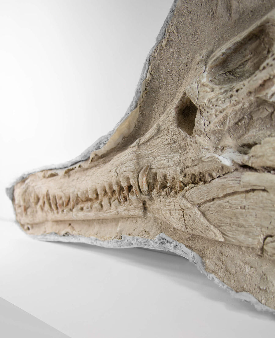 Highly important museum-quality Dyrosaurus Crocodile fossil Skull for sale measuring 1.2 meters