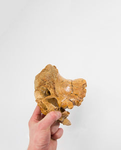 Theropod Dinosaur Vertebrae 160mm