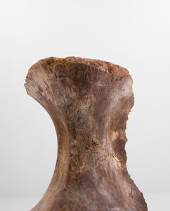Scientifically important Spinosaurus aegyptiacus dinosaur fossil vertebra for sale measuring 178mm at THE FOSSIL STORE