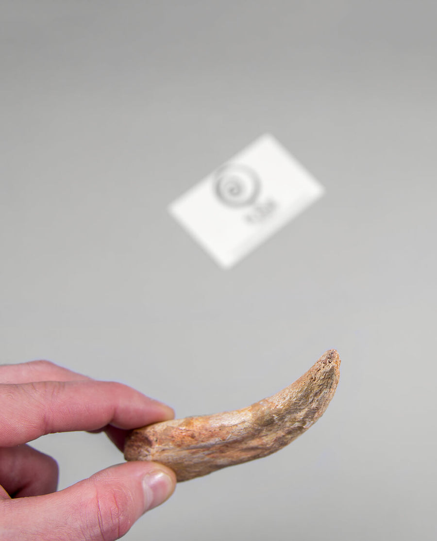 Spinosaurid Hand Claw 116mm