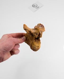 Museum-quality Deltadromeus agilis dinosaur fossil vertebra for sale measuring 91mm at THE FOSSIL STORE