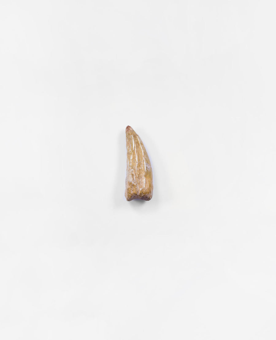 Museum-quality Carcharodontosaurus saharicus dinosaur fossil claw for sale measuring 38mm at THE FOSSIL STORE