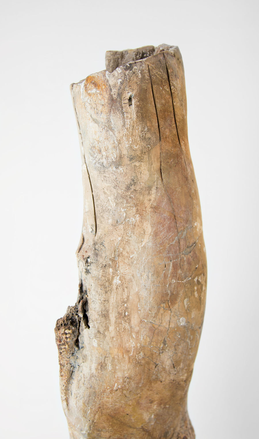 Scientifically important theropod dinosaur fossil femur bone for sale measuring 685mm at THE FOSSIL STORE