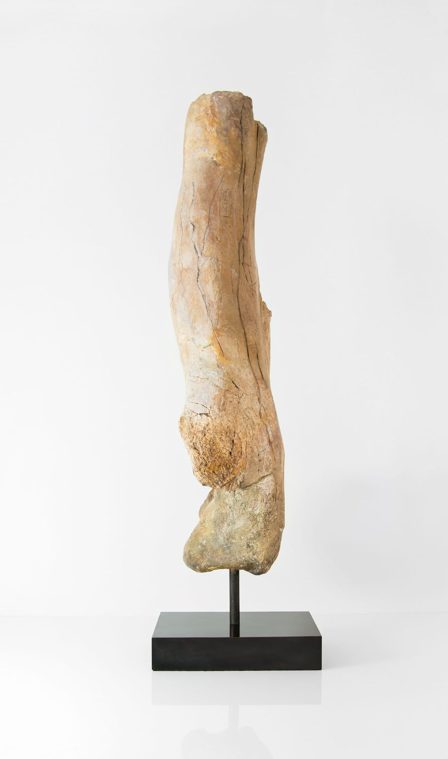 Theropod Dinosaur Femur on a bronze stand measuring 685mm