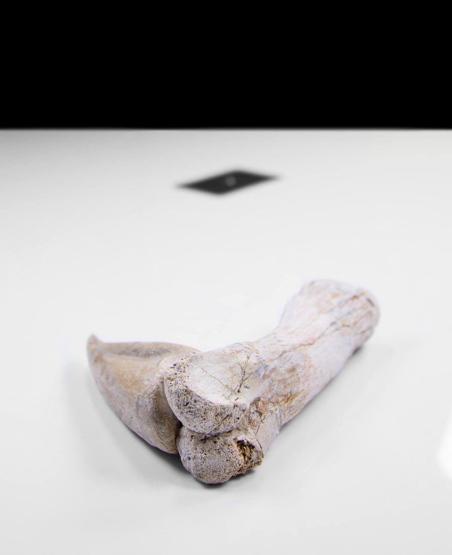 Scientifically important Spinosaurus aegyptiacus dinosaur fossil toe claw for sale measuring 260mm at THE FOSSIL STORE