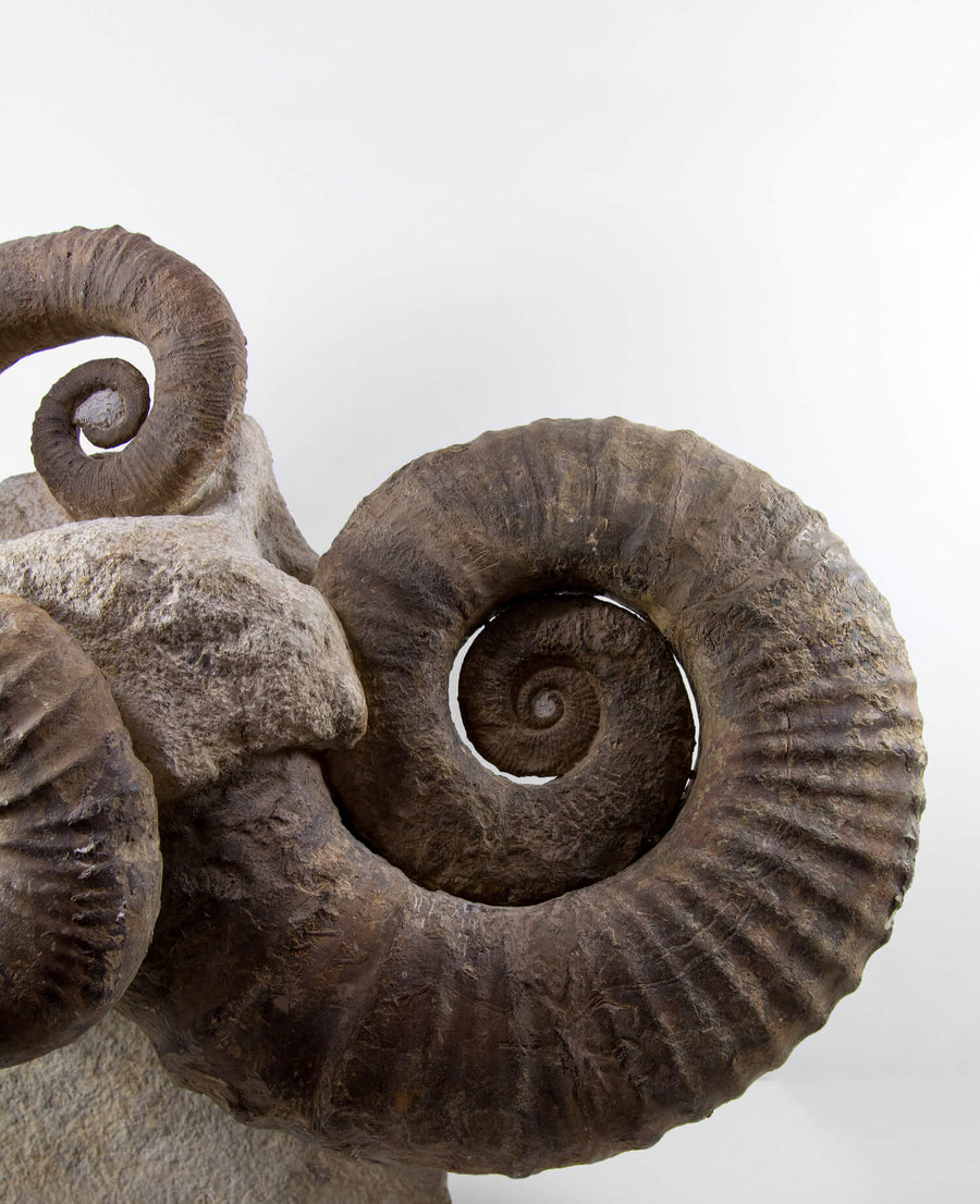 A superb Emericiceras barremense and two Ancyloceras heteromorph ammonites measuring an overall length of 2.3ft