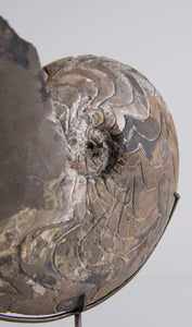 Dimeroceras Ammonoid on Bronze