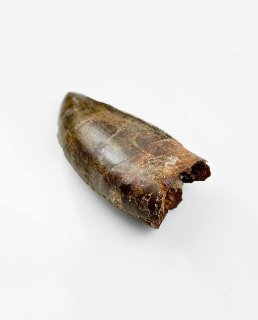 Museum-quality Carcharodontosaurus saharicus dinosaur fossil tooth for sale measuring 76mm at THE FOSSIL STORE
