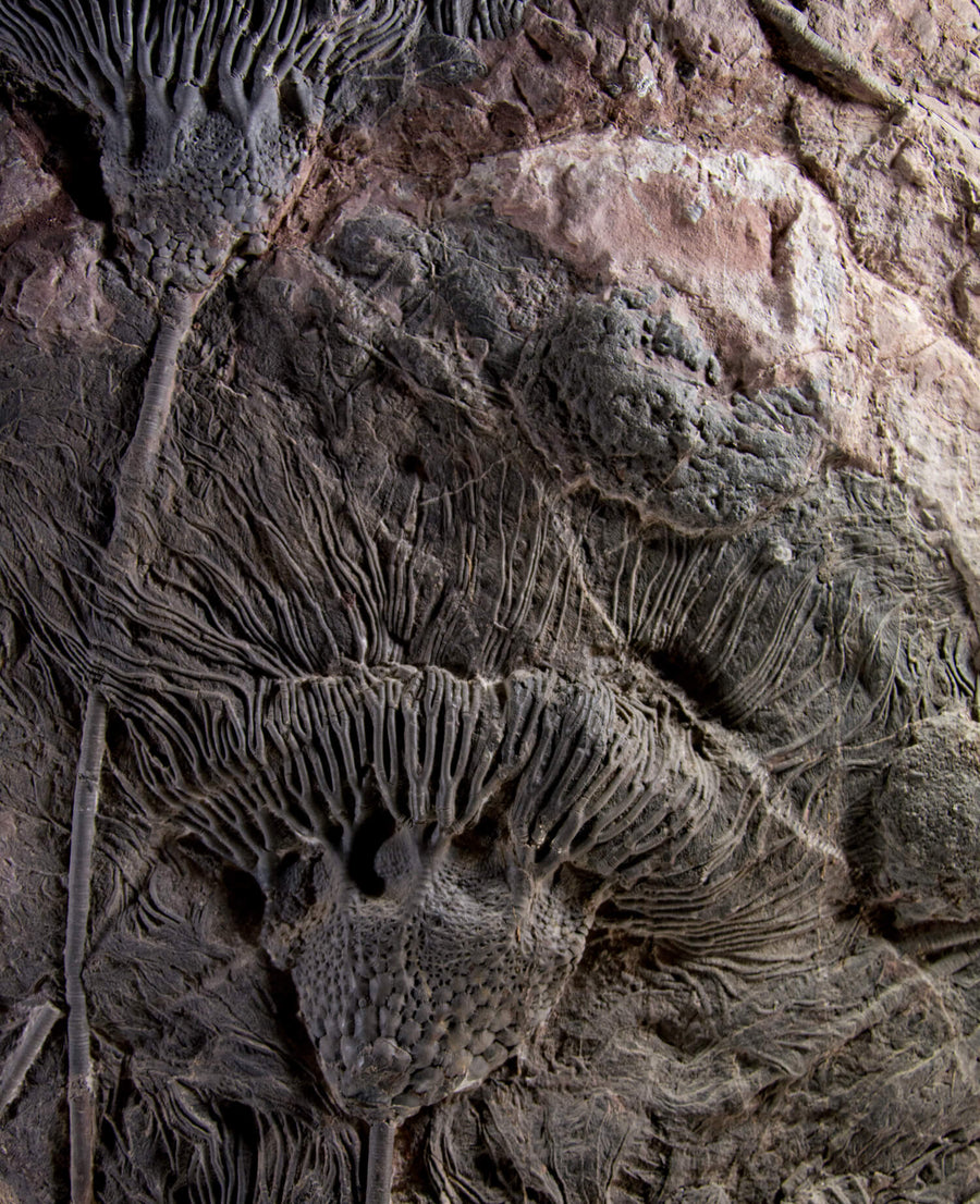 Oceanic Crinoidea Lily Wall Decor - 7.8ft
