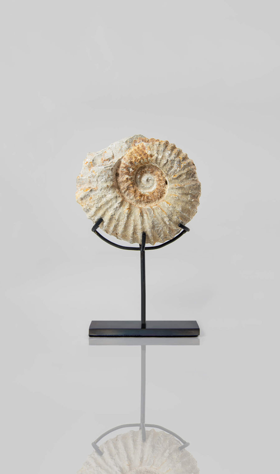Beautifully presented Mantelliceras ammonite fossil for sale measuring 188mm on our custom designed bronze stand