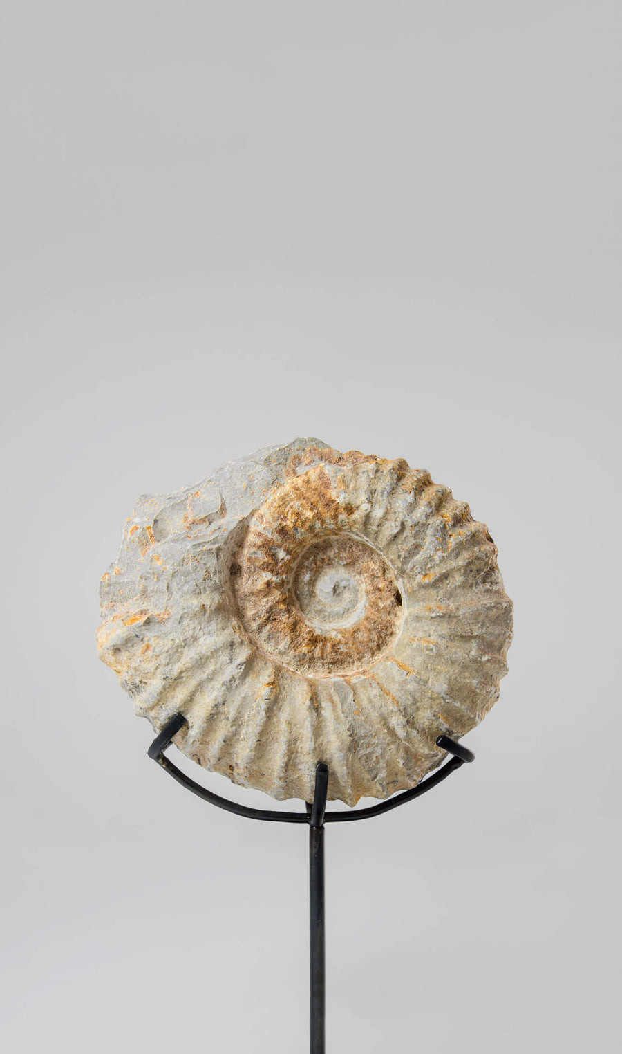 Mantelliceras Ammonite on Bronze 188mm