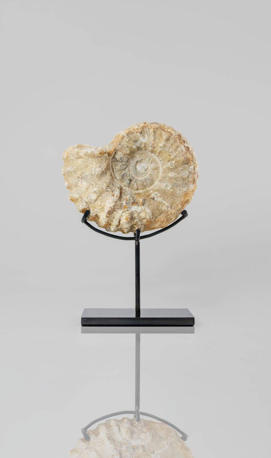 Beautifully presented Mantelliceras ammonite fossil for sale measuring 185mm on our custom designed bronze stand