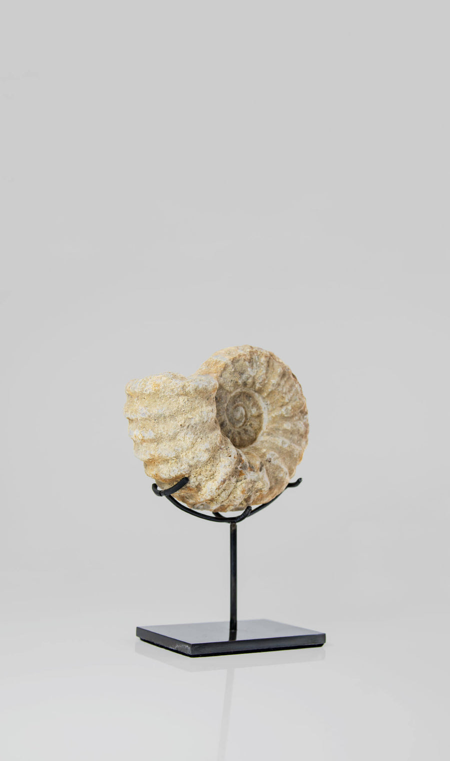 Mantelliceras Ammonite on Bronze 185mm
