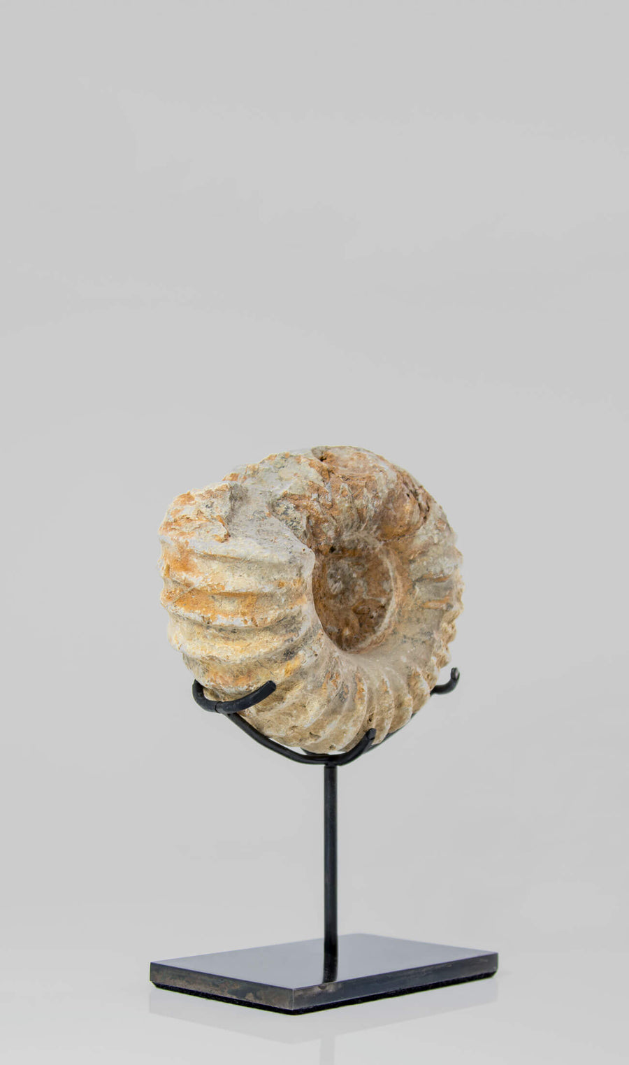Mantelliceras Ammonite on Bronze 175mm