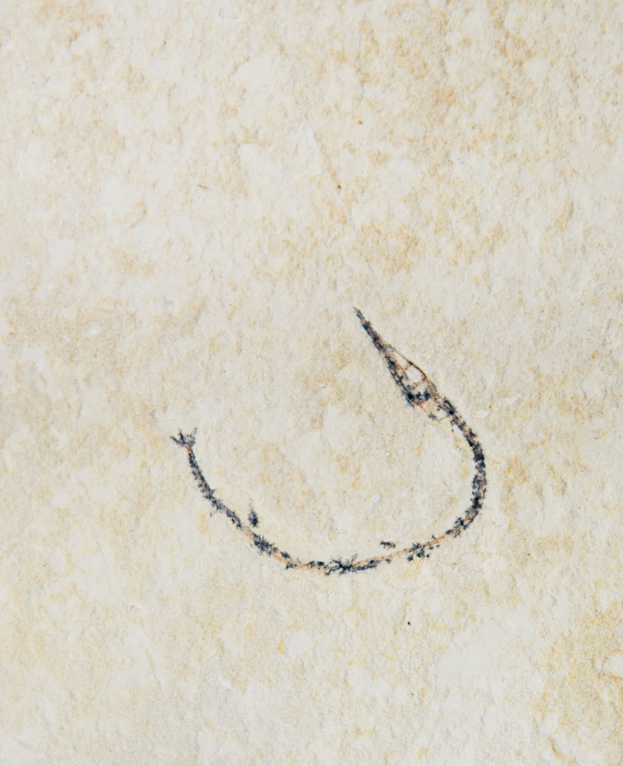 Moroccan Fossil Needle Fish