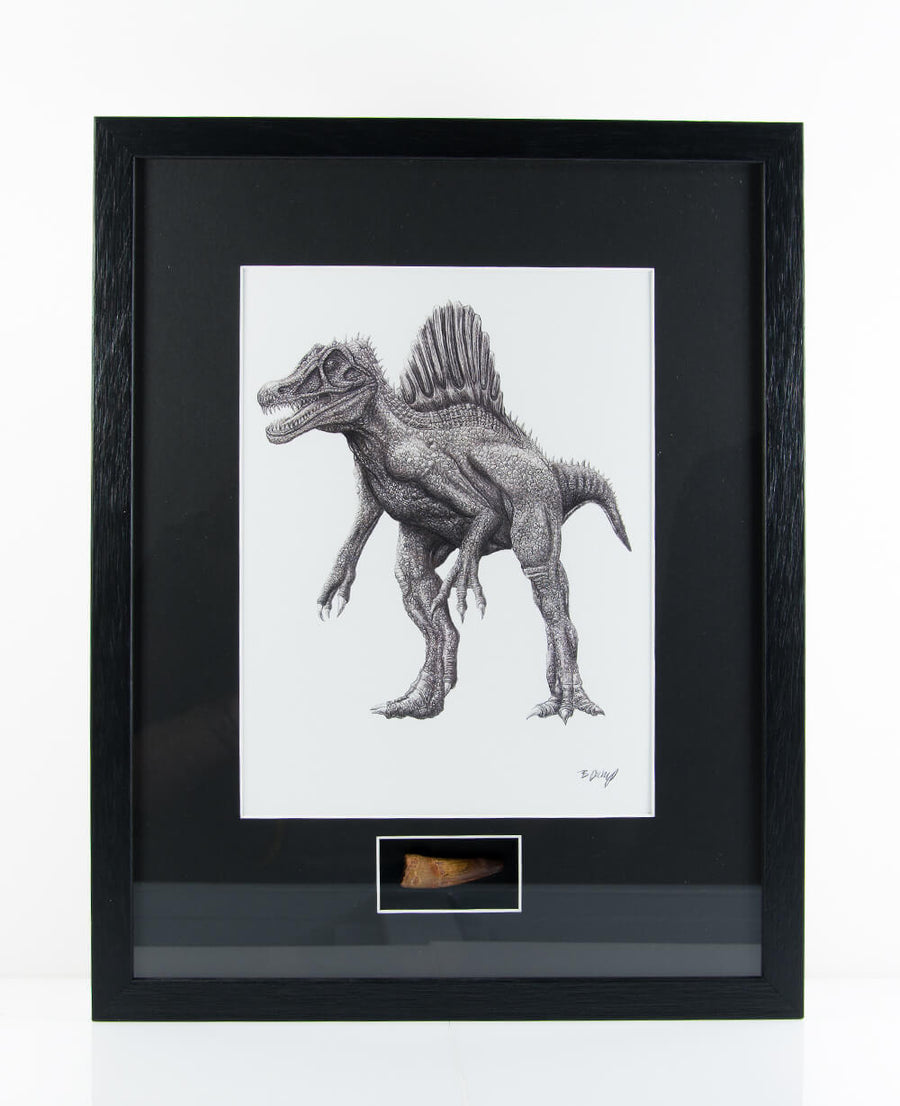 Framed authentic Spinosaurus aegyptiacus tooth with a signed print by Ben Pickup which includes a certificate of authentication attached on the reverse