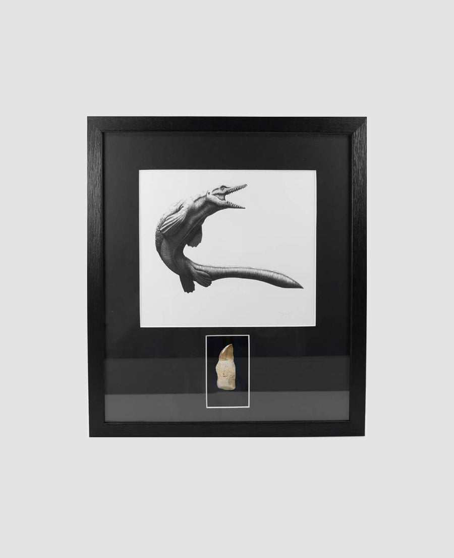 Framed Mosasaurus Reptile Tooth 400mm