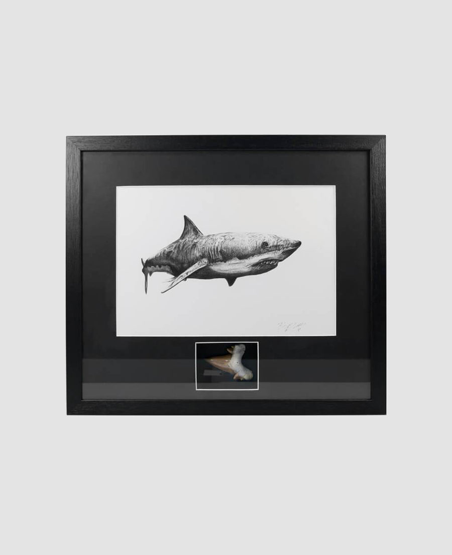 Framed Otodus Shark Tooth 410mm