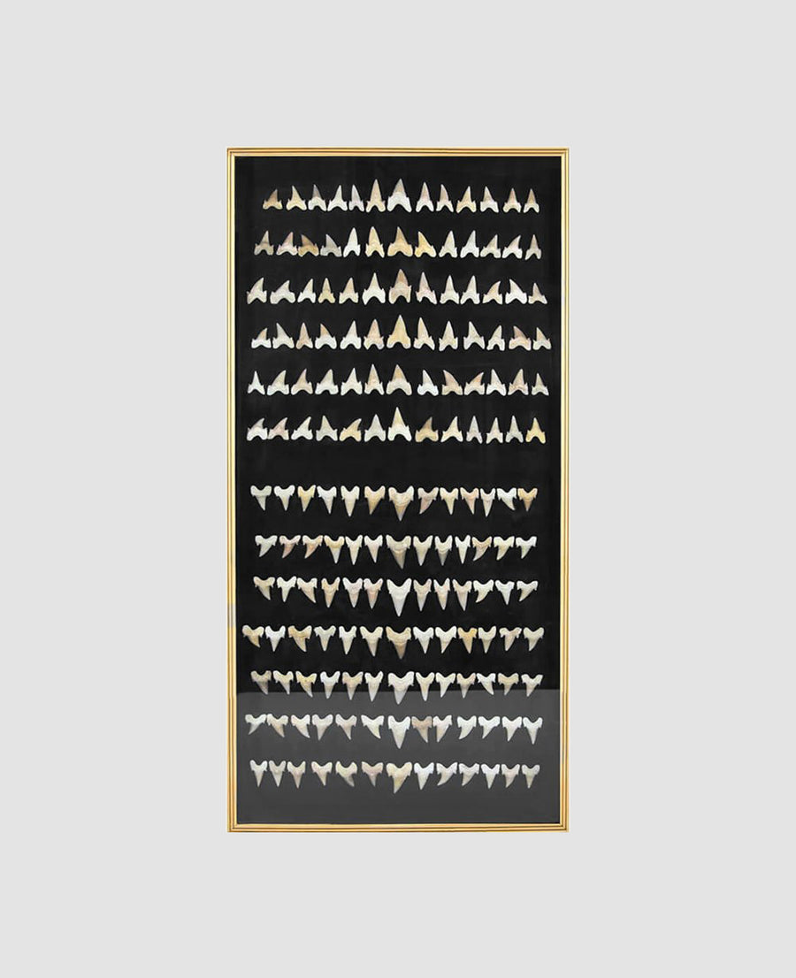 Framed 169 Otodus Shark Teeth 1.2m