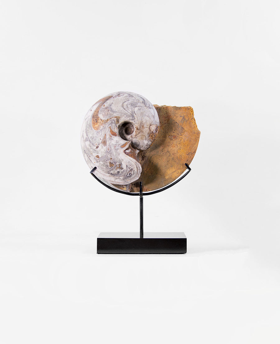 A Dimeroceras cephalopod ammonoid measuring 290mm, Now transformed on to our elegant innovated-designed bronze stand for spaces out there!