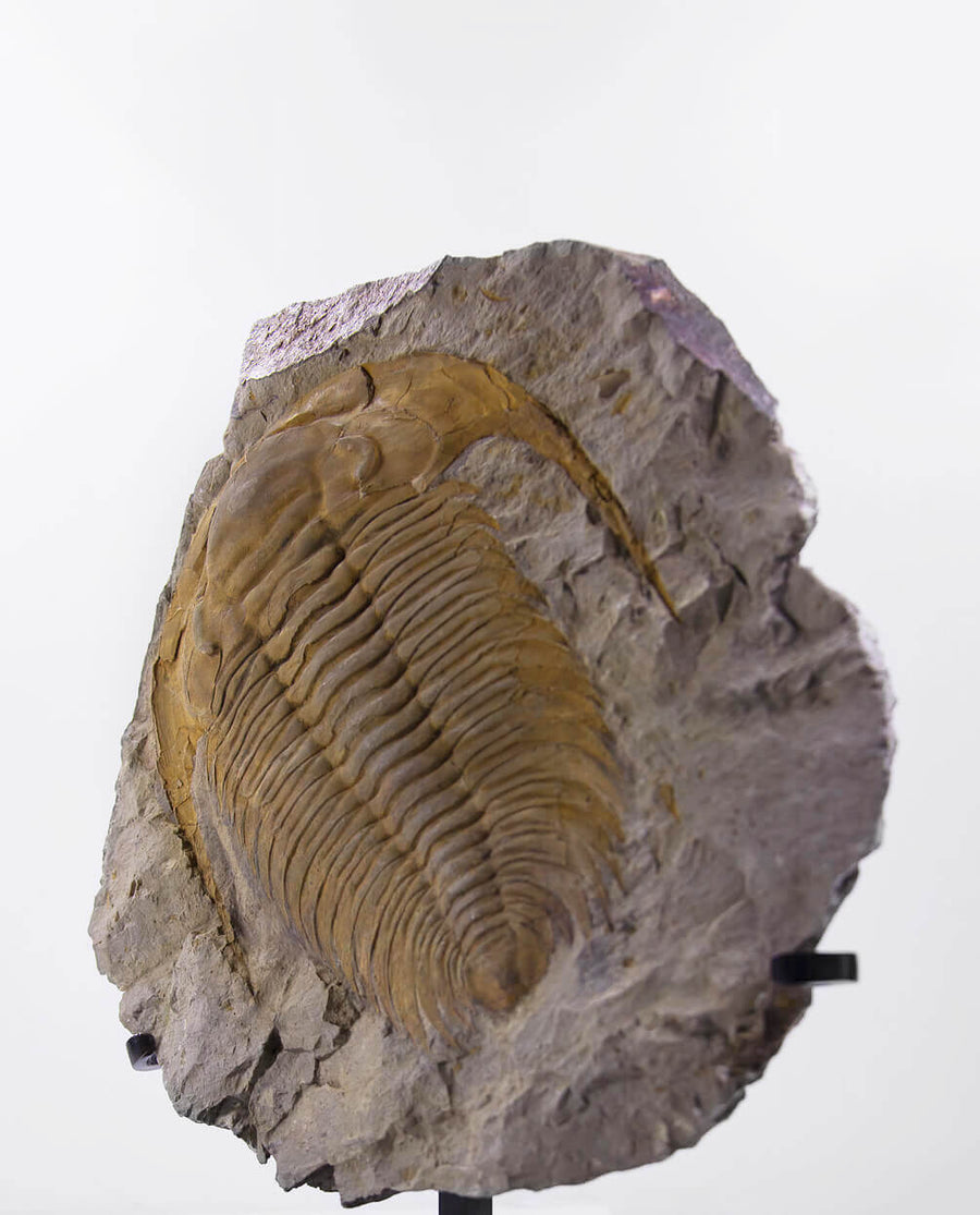 Paradoxides Trilobites on Bronze 385mm