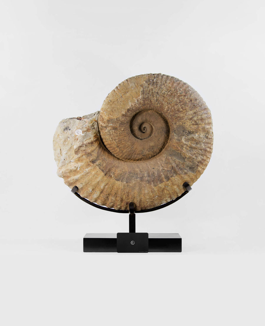 Pachydesmoceras Ammonite 500mm