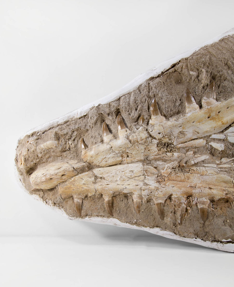 Beaugei Arambourg Mosasaurus Lower Mandible Jaws