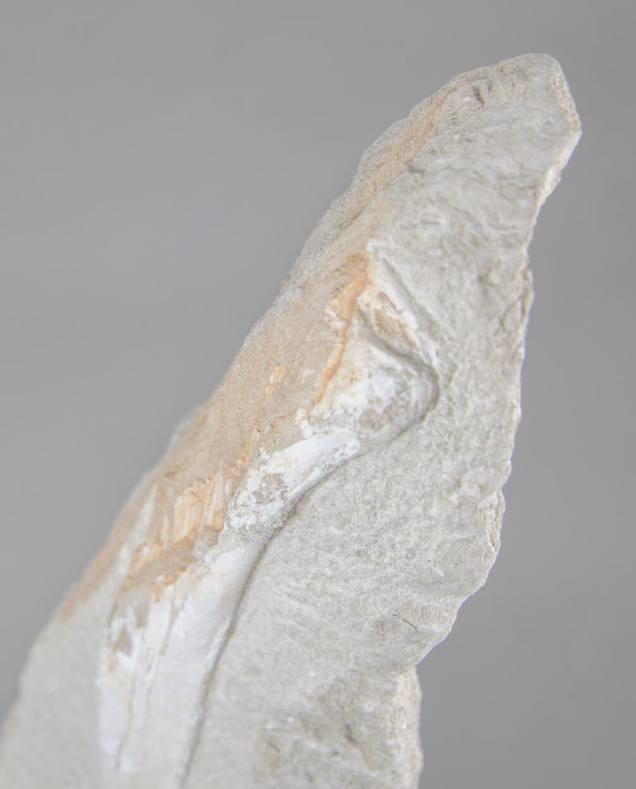 Odontopteryx Bird Bone 510mm