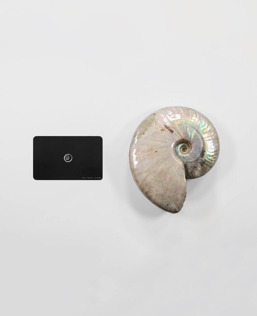 Opal Cleoniceras Ammonite 130mm