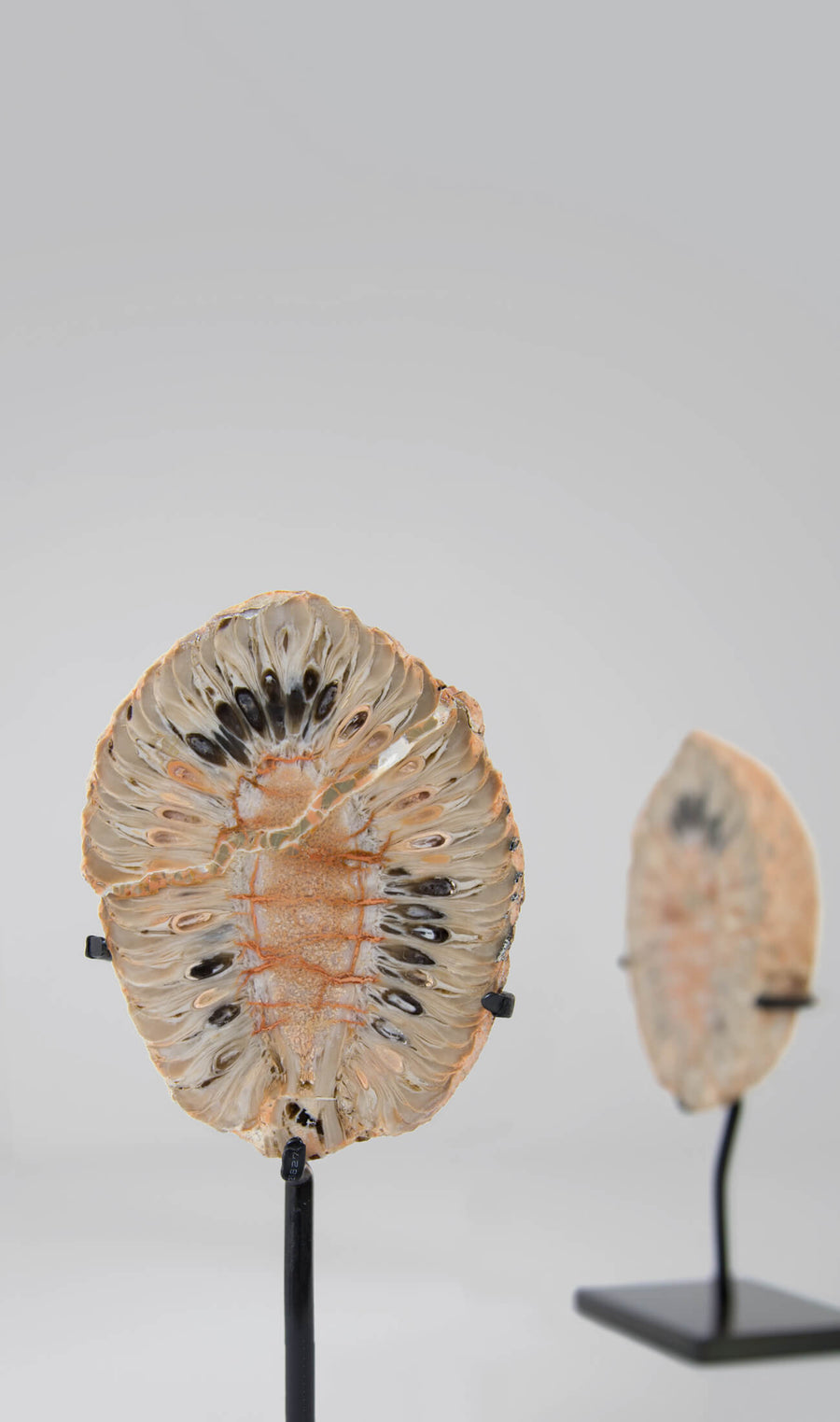 Introducing an extraordinary fir cone cut in two to reveal the delicate internal morphology that now shows the exterior ovule patterns within which once pollinated, develop into seeds.