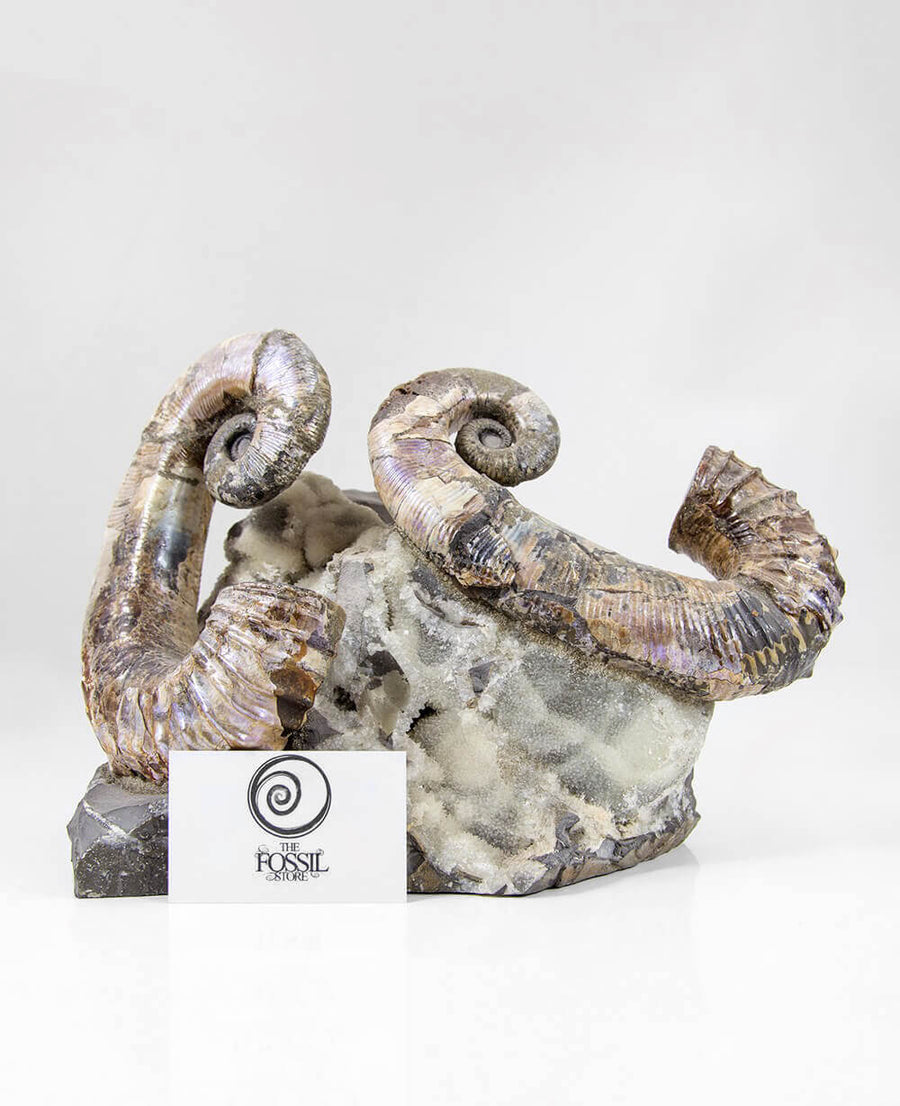 A beautiful example of the Russian fossil Audoliceras heteromorph ammonite for sale measuring 220mm now at THE FOSSIL STORE