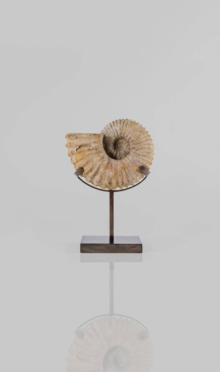 A wonderful example of a double sided Calycoceras asiaticum ammonite measuring 205mm. Now transformed on to our elegant innovated-designed AES bronze stand for spaces out there!