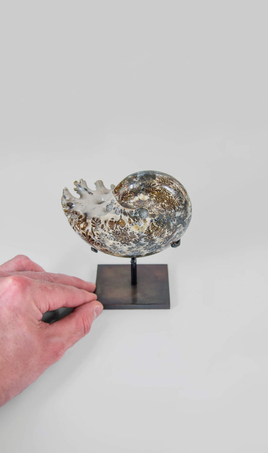 Polished Suture Patterned Phylloceras Ammonite on Bronze