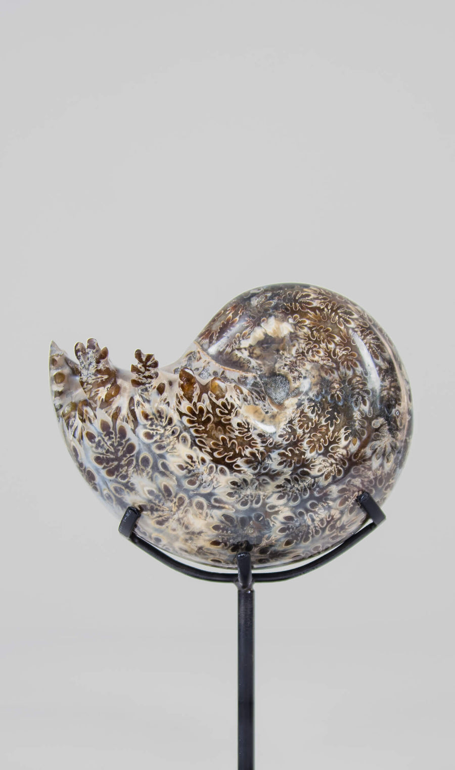 A beautifully polished Phylloceras ammonite fossil for sale measuring 124mm on THE FOSSIL STORE custom designed bronze stand