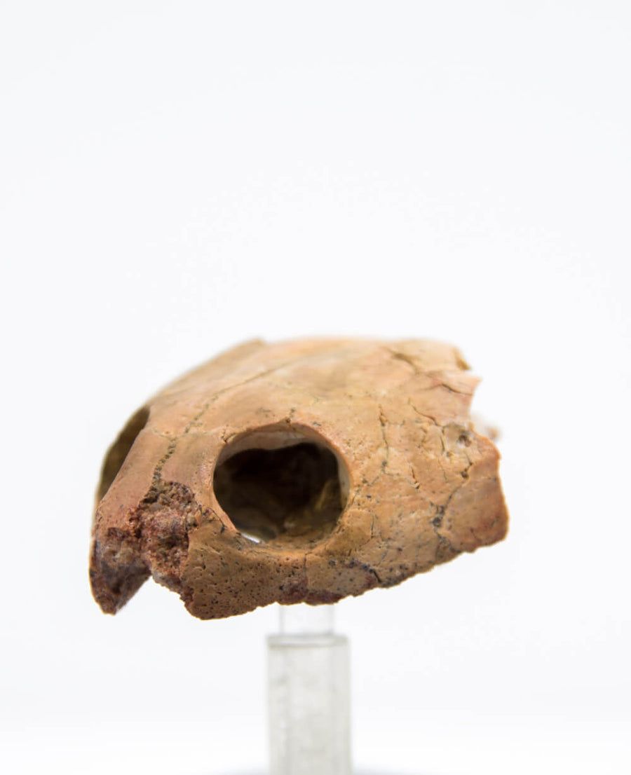 Boththremydidae Side Neck Turtle Skull