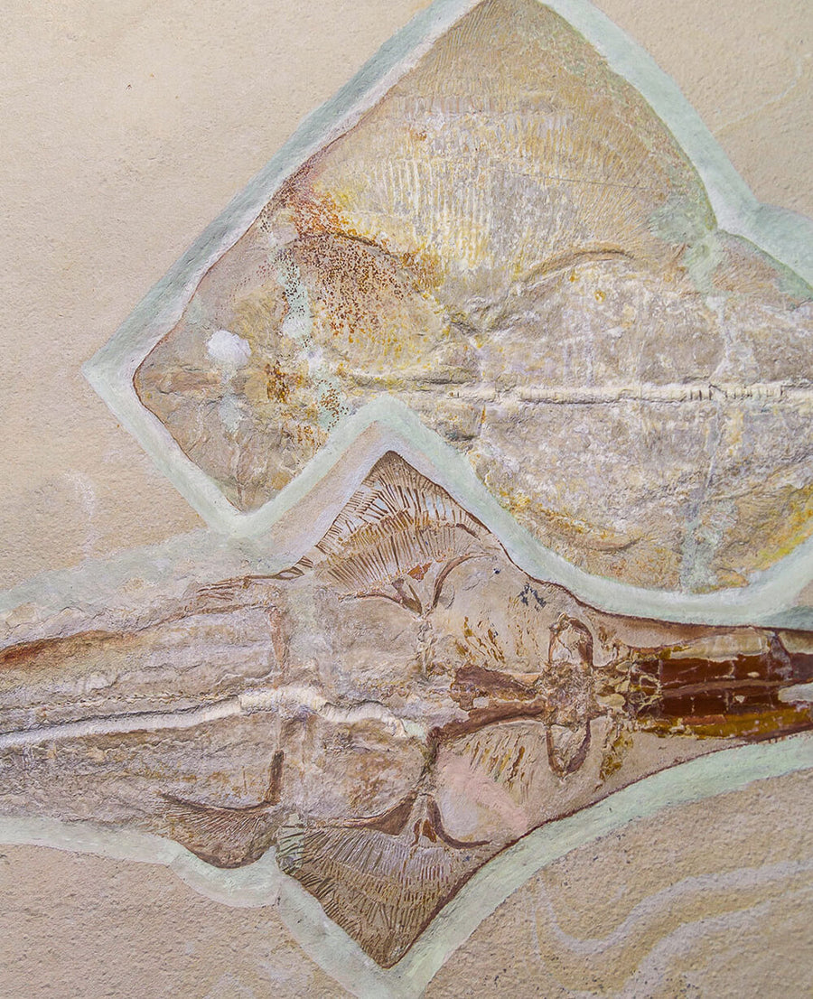 A stunning and rare museum-standard Ray & Shovel Nose Shark fossils for sale by THE FOSSIL STORE for wall display