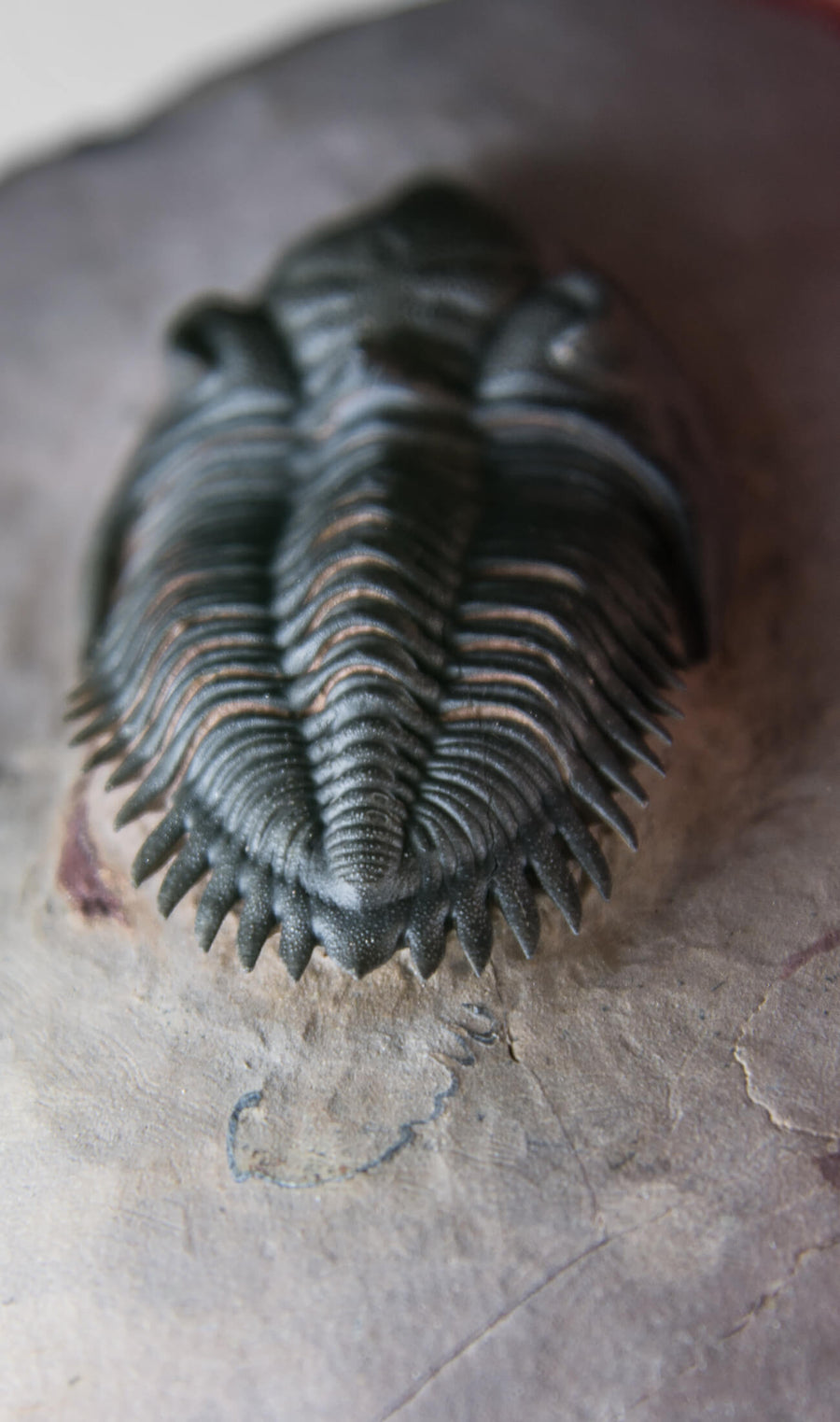 A beautifully sized Metacanthina maderensis fossil trilobite within the original authentic bedrock measuring 102mm