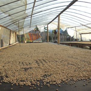 "Parchment coffee drying inside of a ""secadora"" in Huila Colombia.  A secadora is a structure used to dry coffee, often composed of clear plastic tarps and wooden posts.  This step is the final step of processing coffee beans or seeds before being sold to exporters by the coffee farmers."