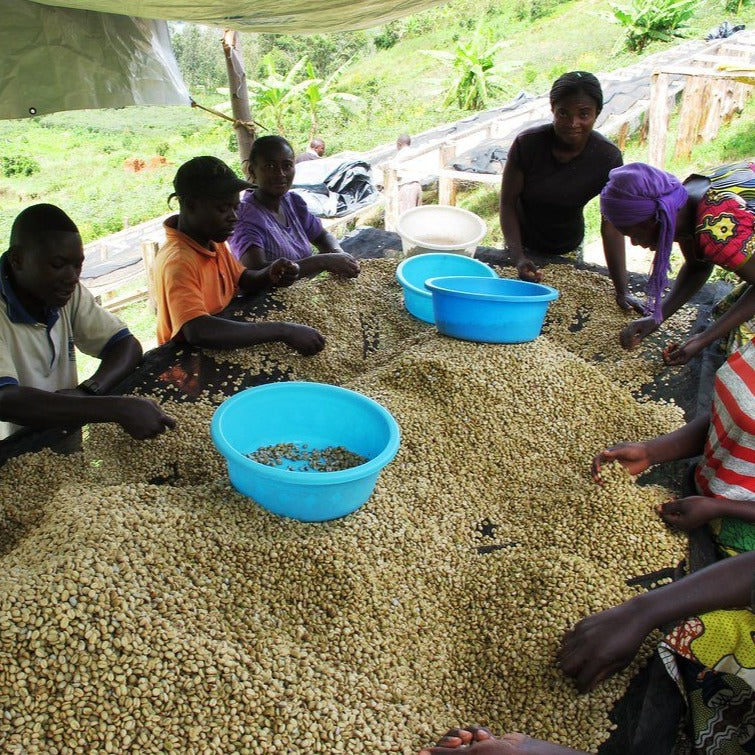 Coffee farmers sorting parchment coffee in the Democratic Republic of Congo.  These coffee producers are members of the Muungano cooperative, a high quality coffee producer near Lake Kivu.
