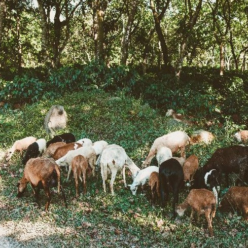 a herd of goats grazing underneath shade trees